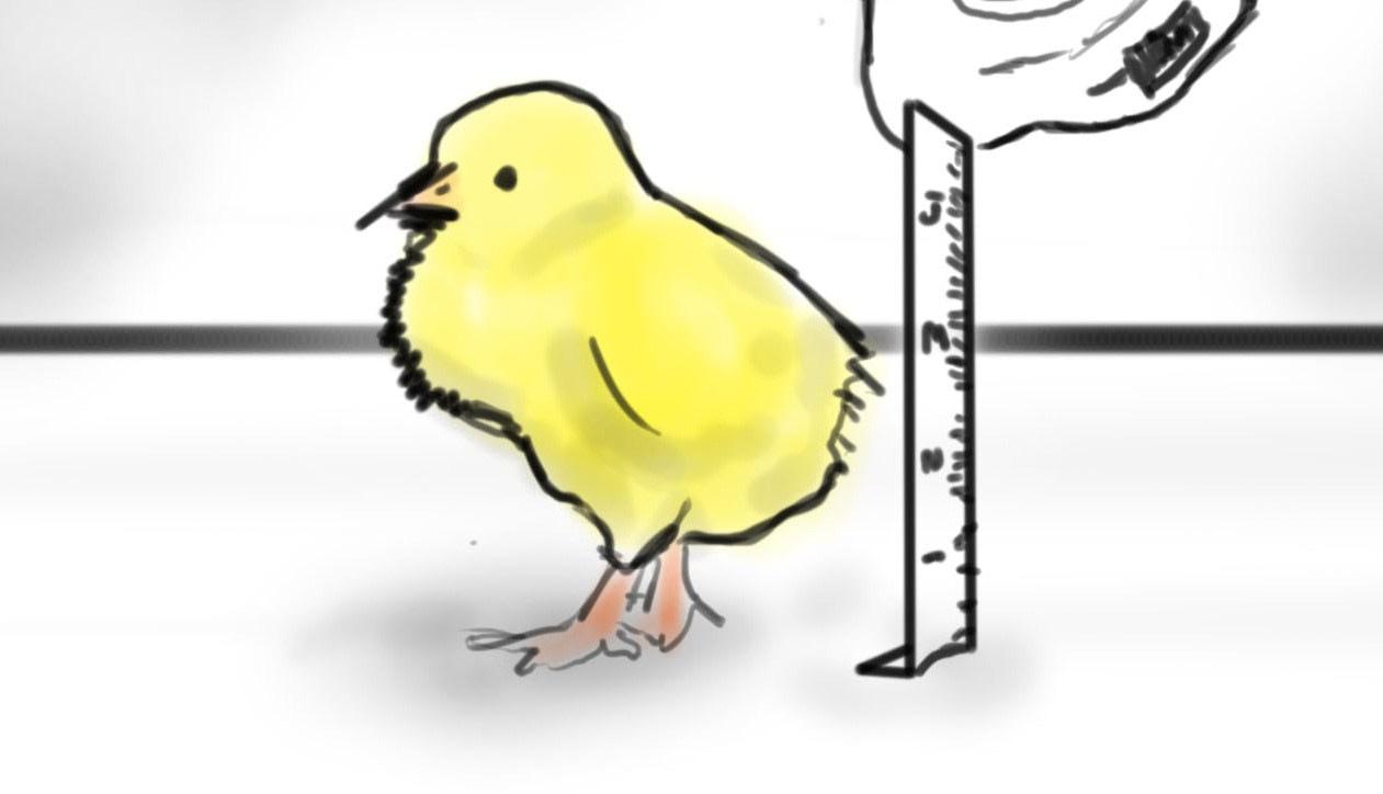 chick_teaser